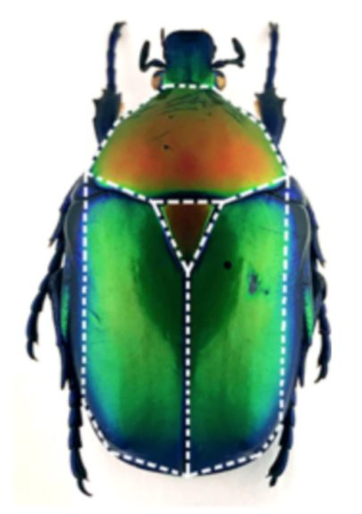 forma geometrica noua insecta