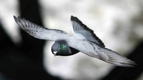 """""""Porumbeii"""" sunt cea mai nouă metodă de spionaj chinezesc"""