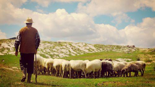 """De unde vine expresia """"să revenim la oile noastre"""""""