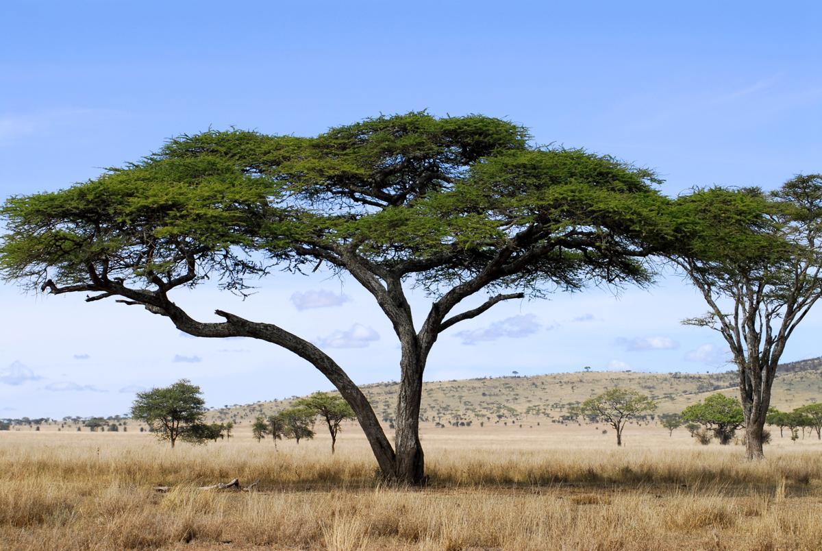 acacia desert africa