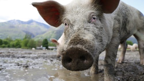 Viralul de la care te bufnește râsul: s-a îmbătat porcul și s-a bătut cu vaca