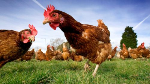 Revoluție în medicină: găinile care fac ouă bune de folosit în tratamente anti-cancer