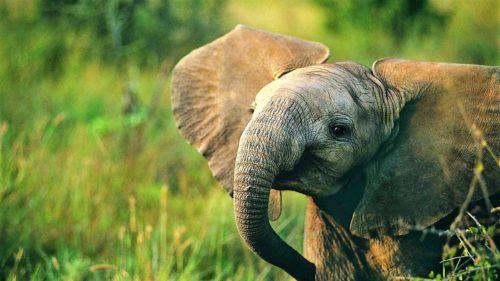 Ce nu știai despre trompa elefantului și cât de fascinantă e