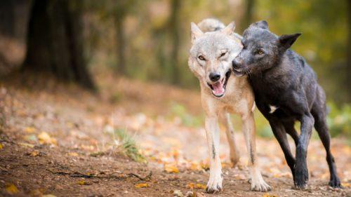 Experiment pe lupi și câini: care animal este mai generos