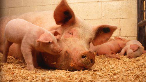Pesta porcină, mai periculoasă ca niciodată: la cât au ajuns pagubele în România