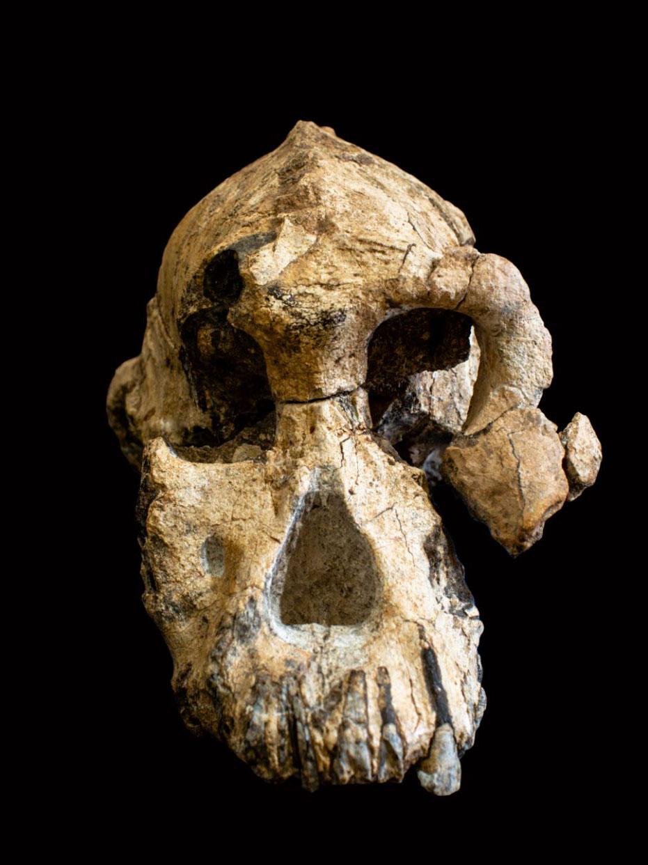 craniu predecesor om