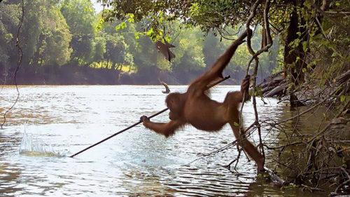 Urangutanul devenit viral: povestea abilităților sale de pescar cu sulița