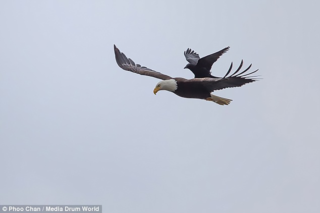 crow-captured-taking-a-rest-on-the-back-of-a-bald-eagle6