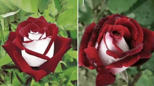 Trandafirul cu petale albe și roșii este o minune genetică de care te poți bucura
