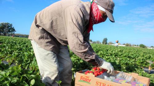 """""""Căpșunarii"""" noștri, în vizorul Parlamentului European: ce îi așteaptă pe muncitorii sezonieri"""