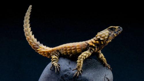 Acest mini dragon este printre cele mai rare animale din lume: de ce este specială șopârla