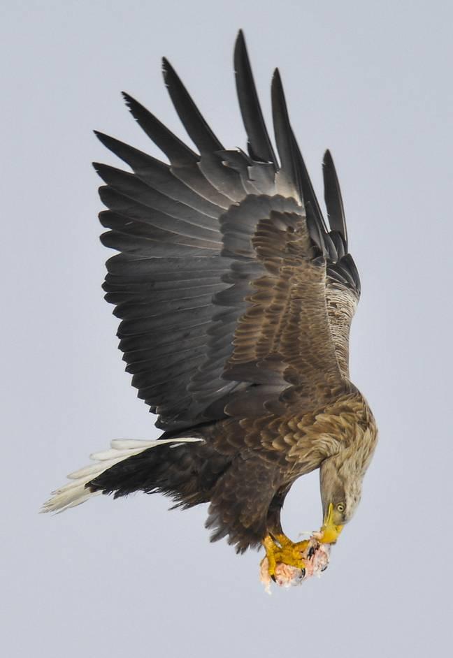 vultur-cu-coada-alba