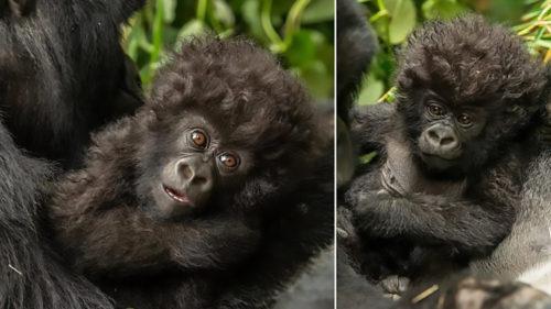 Cele mai speciale gorile sunt pe cale de dispariție: de ce nu le vei uita niciodată