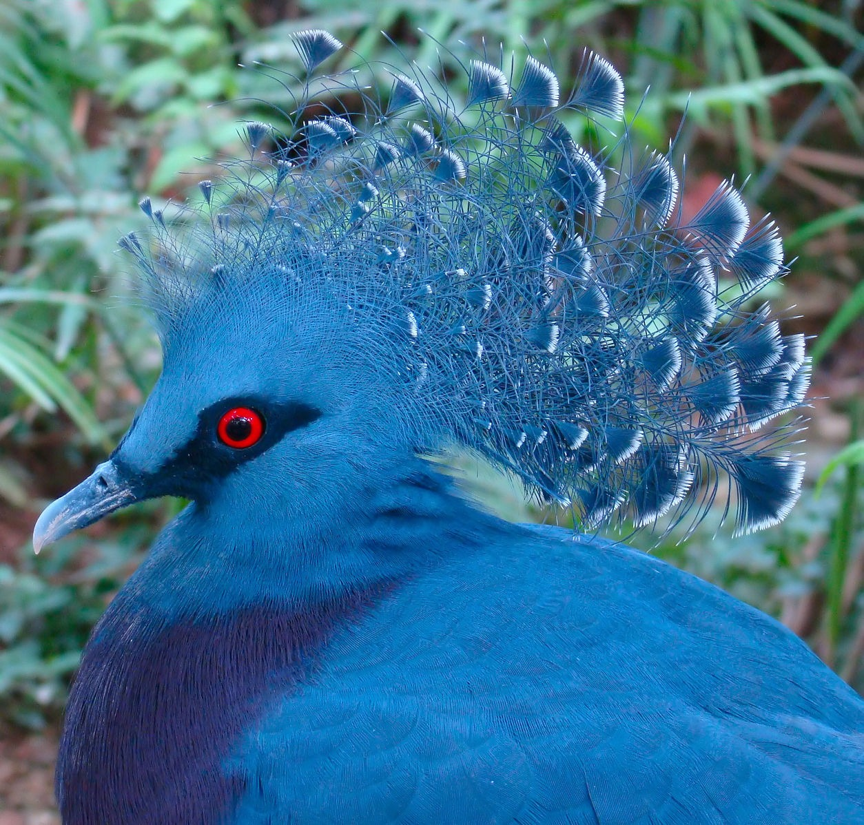 the-victoria-crowned-pigeon-is-1