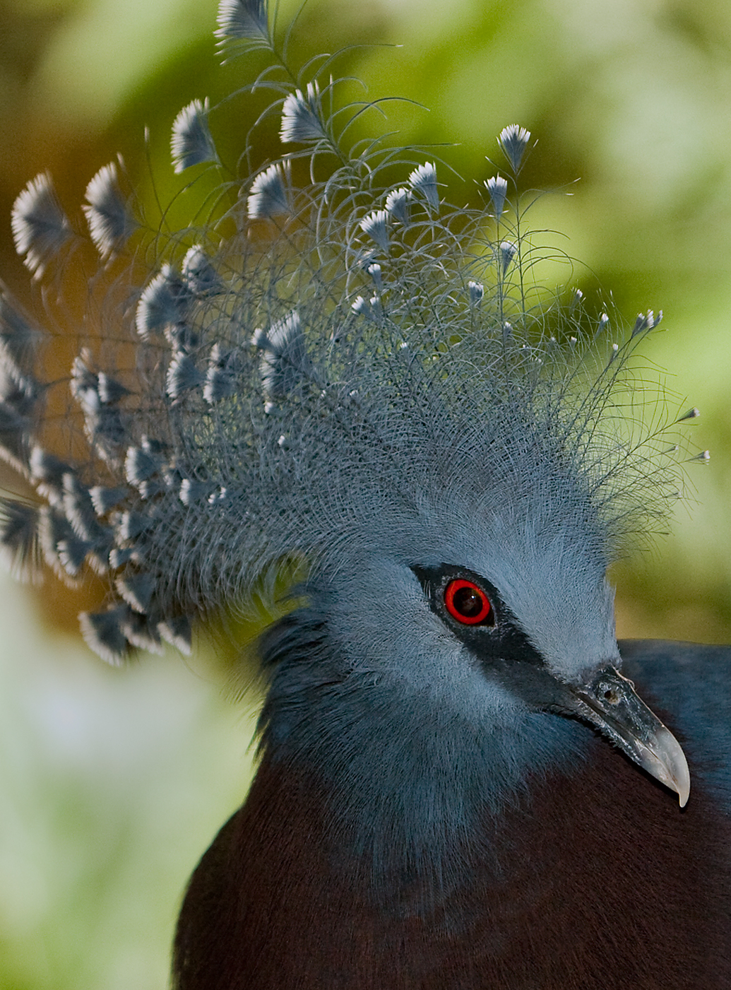 the-victoria-crowned-pigeon-is-the-largest-most-beautiful-pigeon-in-the-world3