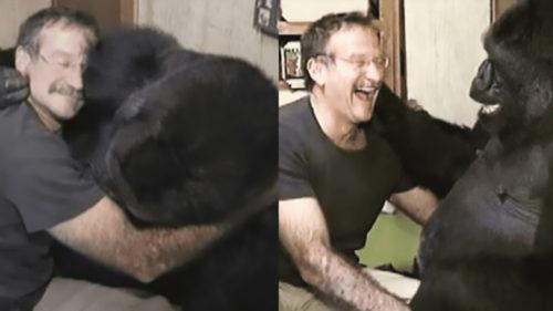 <span class='highlight-word'>VIDEO</span> Glumele lui Robin Williams cu o gorilă îți arată cât sunt de deștepte, de fapt