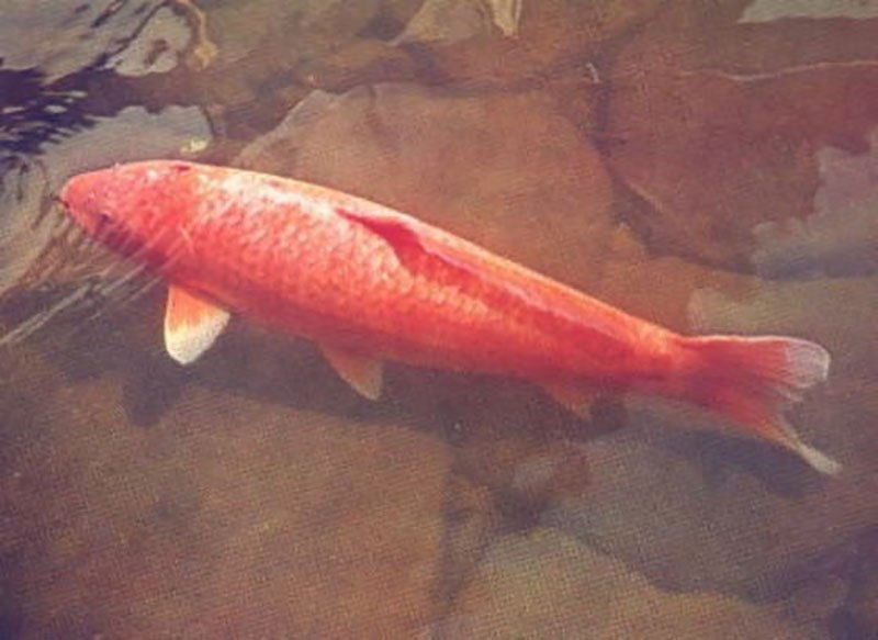 this-amazing-koi-fish-was-226-years-old1