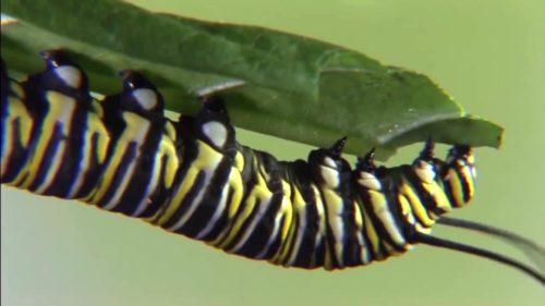 Ce înseamnă metamorfoza completă, procesul prin care apar, de fapt, fluturii