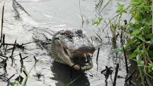 Aligatorii au o capacitate neștiută până acum care ar putea ajuta oamenii