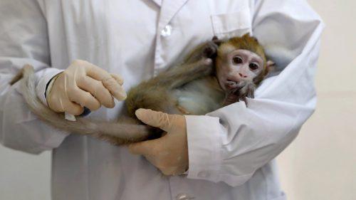 Acest experiment a stabilizat colesterolul la maimuțe. Cum ar putea ajuta în bolile de inimă la om