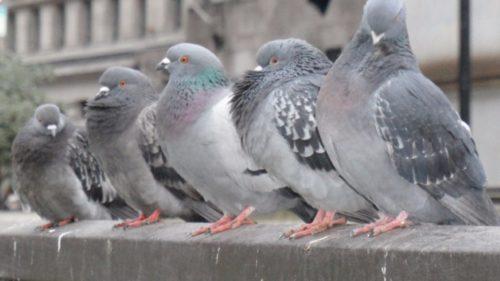 Cea mai ciudată amendă din România, votată: cât plătești dacă dai de mâncare la porumbei