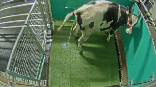 Vacile au fost dresate să urineze la toaletă: cum ajută mediul înconjurător