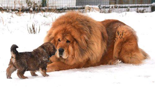 """Ar putea fi cel mai scump câine din lume: prețul impresionant al """"leului"""""""